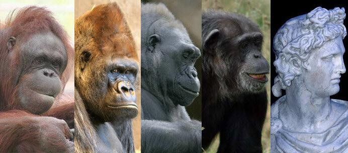 Orang outang, gorillas, chimpanzee, Apollo