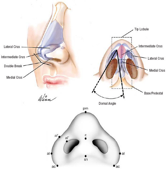 The anatomy of the lower nose.