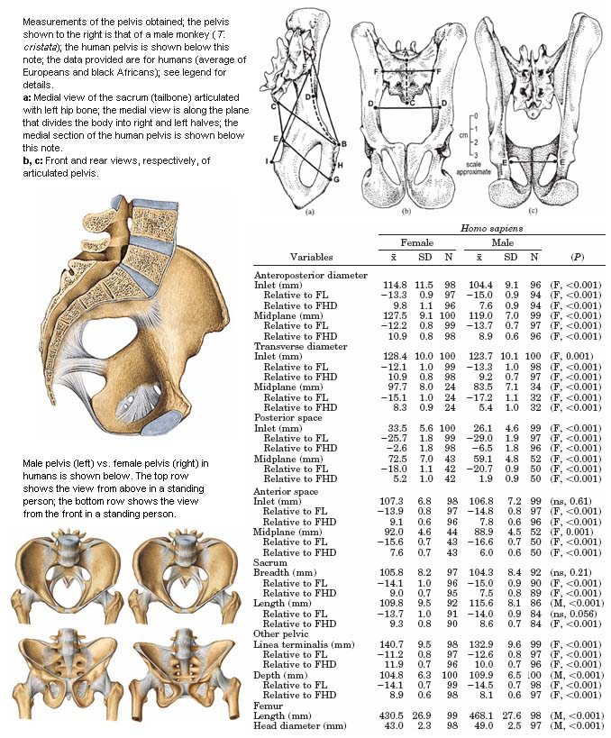 Sexual dimorphism in the pelvis.